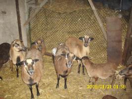 Kamerun <Schafe