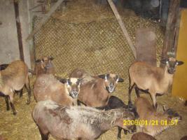 Foto 2 Kamerun <Schafe