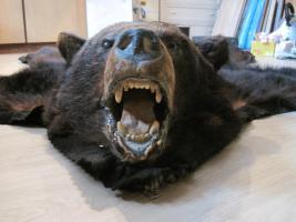 Foto 5 Kanadischer Schwarzbär