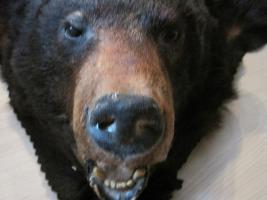 Foto 6 Kanadischer Schwarzbär