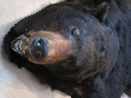 Foto 7 Kanadischer Schwarzbär