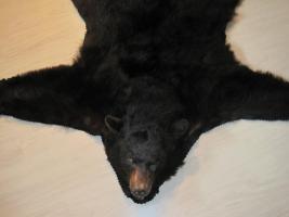 Foto 8 Kanadischer Schwarzbär