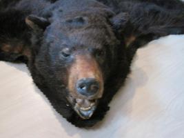 Kanadischer Schwarzbär zu verkaufen