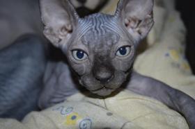 Kanadischer Sphynx Kätzchen für Zucht mit Papiere