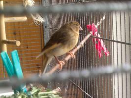 Kanariejungvogel
