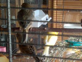 Foto 2 Kanariejungvogel