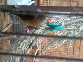 Foto 3 Kanariejungvogel