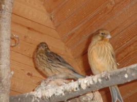 Foto 2 Kanarien Rot/Schwarz und Gelb von 2011