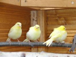 Foto 3 Kanarien Rot/Schwarz und Gelb von 2011