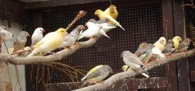 Kanarien und Zebrafinken  12 Kanarien (a 6.- EUR), 14 Zebrafinken (a 4.-EUR) abzugeben - bei Abnahme ab 5 Vögel 1.-EUR Nachlass pro Vogel