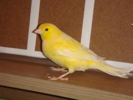 Foto 2 Kanarienvögel