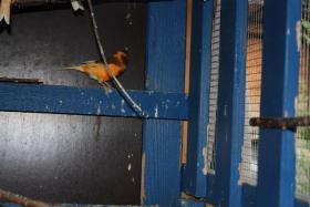 Foto 2 Kanarienvögel (2 Stück)