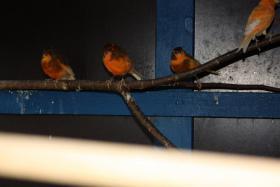 Foto 3 Kanarienvögel (2 Stück)