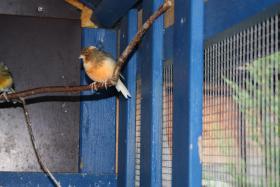 Foto 4 Kanarienvögel (2 Stück)