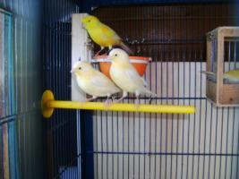 Kanarienvögel Gelb