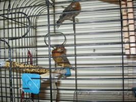 Foto 2 Kanarienvogel