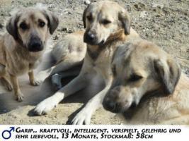 Kangal-Mix Rüde ''Garip'' kostenlos an tierliebe Menschen abzugeben