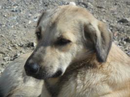 Foto 2 Kangal-Mix Rüde ''Garip'' kostenlos an tierliebe Menschen abzugeben