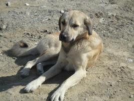 Foto 3 Kangal-Mix Rüde ''Garip'' kostenlos an tierliebe Menschen abzugeben