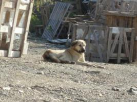 Foto 4 Kangal-Mix Rüde ''Garip'' kostenlos an tierliebe Menschen abzugeben