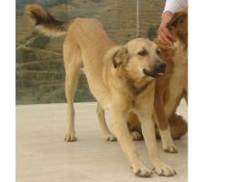 Foto 9 Kangal-Mix Rüde ''Garip'' kostenlos an tierliebe Menschen abzugeben
