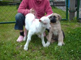 Kangal Welpen mit Pass. 2 Monate alt. Anatolischer Hirtenhund.