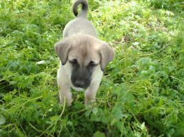 Foto 3 Kangal Welpen mit Pass. 2 Monate alt. Anatolischer Hirtenhund.