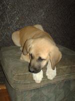 Foto 2 Kangal Welpen, reinrassig. 12 Wo alt. Anatolischer Hirtenhund.
