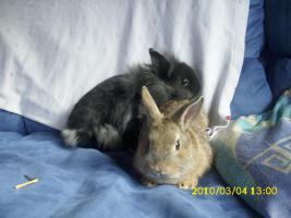 Kaninchen Böcke zu verkaufen