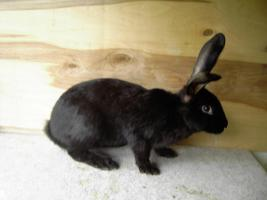 Kaninchen Deutsche Riesenschecken versch. Farben ca. 16 Wochen alt