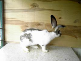 Foto 2 Kaninchen Deutsche Riesenschecken versch. Farben ca. 16 Wochen alt