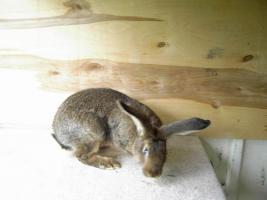 Foto 3 Kaninchen Deutsche Riesenschecken versch. Farben ca. 16 Wochen alt