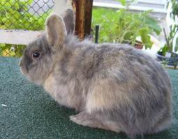 Foto 3 Kaninchen-Männchen, unkastriert, 1,5 Jahre