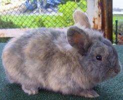 Foto 4 Kaninchen-Männchen, unkastriert, 1,5 Jahre