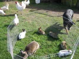 Kaninchen-Mix aus Hobbyzucht