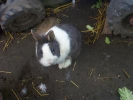 Foto 2 Kaninchen abzugeben in 67346 Speyer
