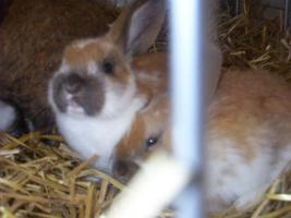 Foto 4 Kaninchen abzugeben in 67346 Speyer