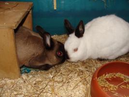 Kaninchen - Rentnerp�rchen sucht leibevolles Zuhause