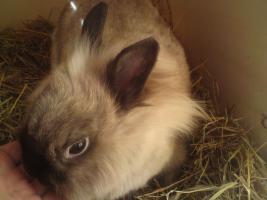 Kaninchen, weibchen, zu verschenken