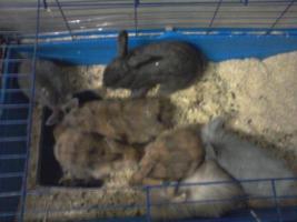 Kaninchenbaby/Jungtiere 8 Wochen alt, verschiedene Farben in Bottrop, schnell verkauf selbstabholung festpreis