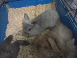 Foto 2 Kaninchenbaby/Jungtiere 8 Wochen alt, verschiedene Farben in Bottrop, schnell verkauf selbstabholung festpreis