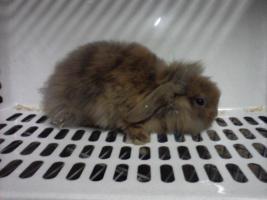 Foto 3 Kaninchenbaby/Jungtiere 8 Wochen alt, verschiedene Farben in Bottrop, schnell verkauf selbstabholung festpreis