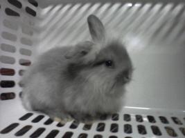 Foto 4 Kaninchenbaby/Jungtiere 8 Wochen alt, verschiedene Farben in Bottrop, schnell verkauf selbstabholung festpreis