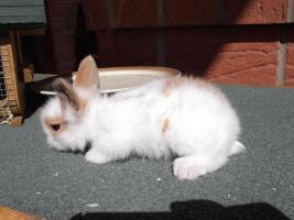 Foto 2 Kaninchenbabys abzugeben