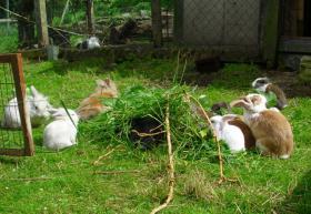 Foto 5 Kaninchenbabys, Löwenwidder, Schlappöhrchen Kaninchen Widder Babyhasen