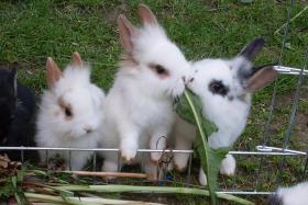 Foto 2 Kaninchenbabys, Widder, Löwenköpfchen, Farbenzwerge schon handzahm ♥