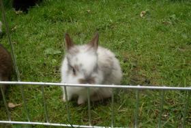 Foto 5 Kaninchenbabys, Widder, Löwenköpfchen, Farbenzwerge schon handzahm ♥