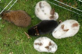 Foto 6 Kaninchenbabys, Widder, Löwenköpfchen, Farbenzwerge schon handzahm ♥