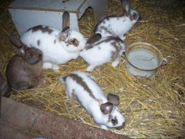 Kaninchenjunge zu verkaufen (Großkaninchen) in OWL