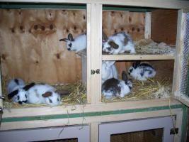Foto 2 Kaninchenjunge zu verkaufen (Großkaninchen) in OWL